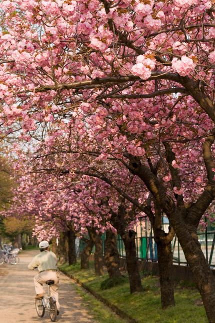 八重桜が並んでいます