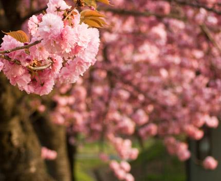 輝くような八重桜