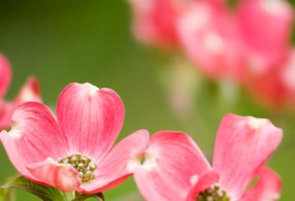 ピンクの花水木(ハナミズキ)