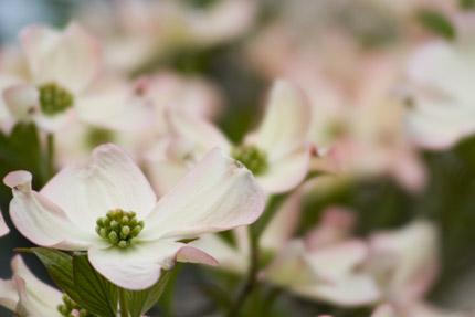 白いハナミズキ(花水木)