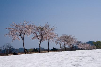 菖蒲高原の桜