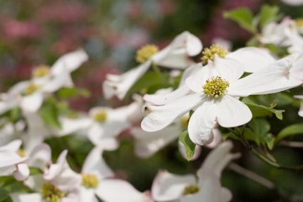 白い花水木(ハナミズキ)