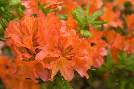 オレンジ色の躑躅(ツツジ)