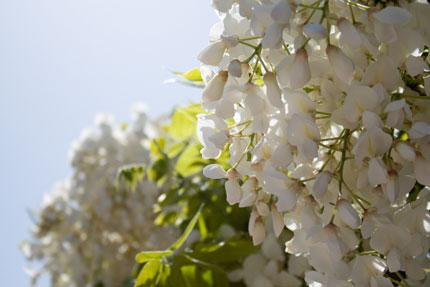 白藤も綺麗に咲いている