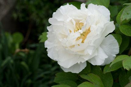 白い牡丹(ボタン)