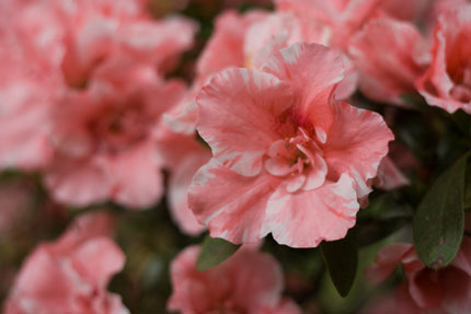 名前の分からぬピンクの花