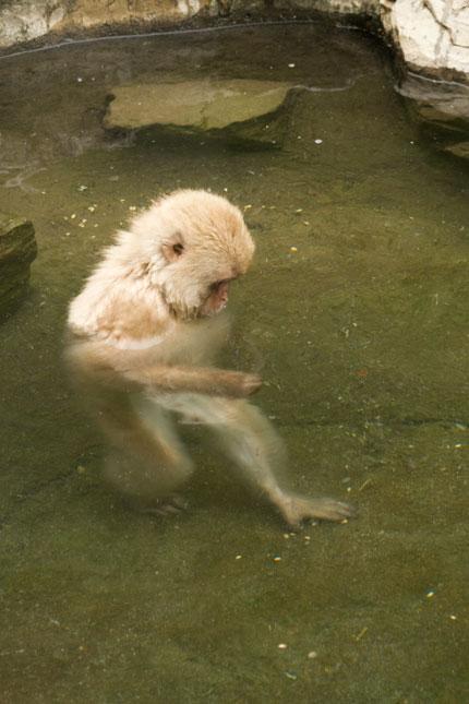 温泉を歩くお猿さんがいました