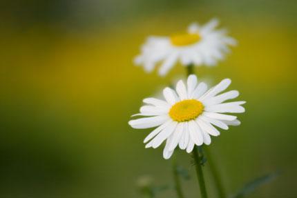 1輪でも可愛い木春菊