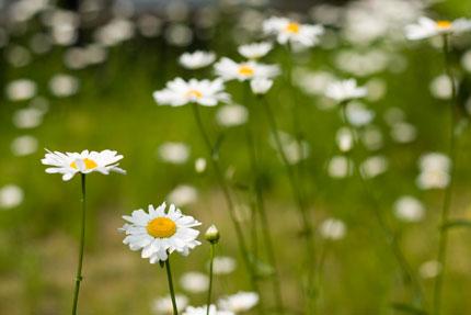 咲き乱れるマーガレット