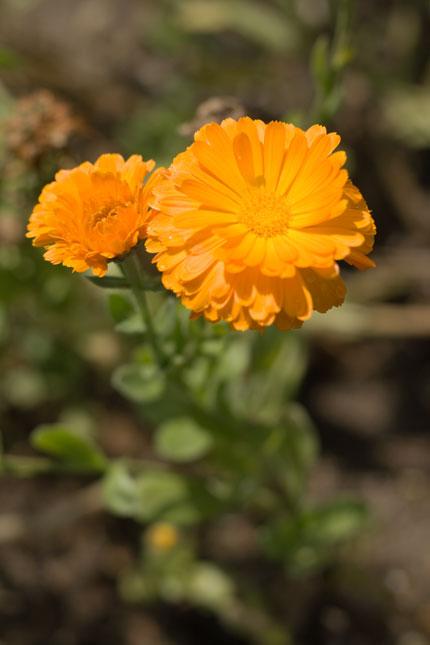 金盞花 (キンセンカ)