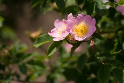 ミニバラか野薔薇