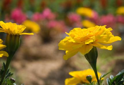 金盞花(きんせんか)