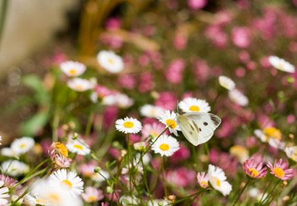 モンシロチョウも花が似合います