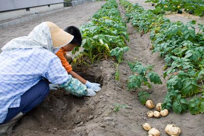ジャガイモ掘りの手伝い