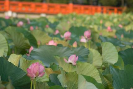 高田公園の蓮の状況は、7分咲き