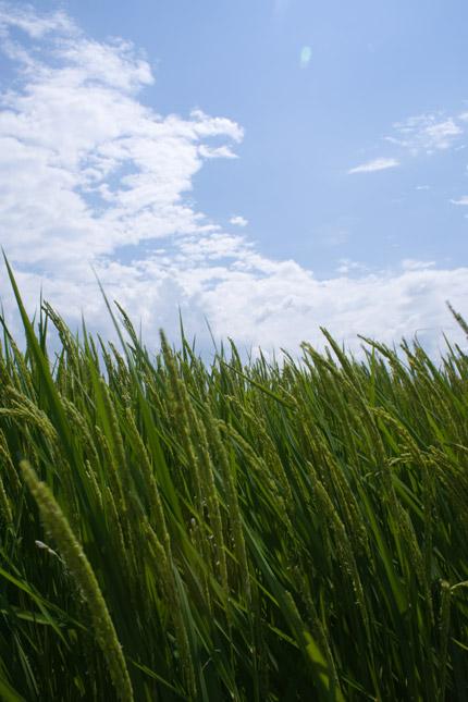 稲に実が、なり始め
