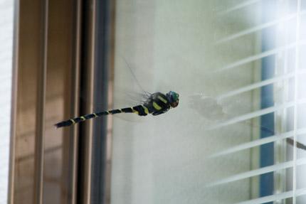 鬼蜻蜒(オニヤンマ)
