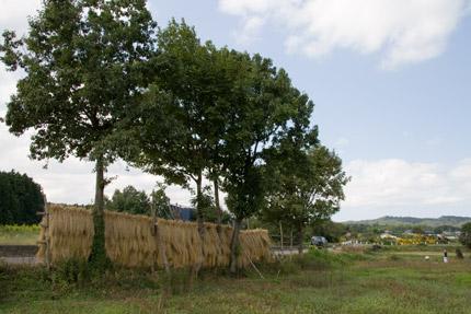 はさ木に稲を干した風景