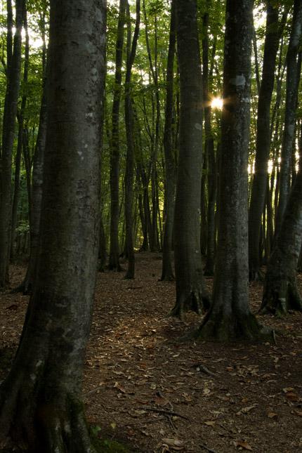 朝日が差し込むブナ林