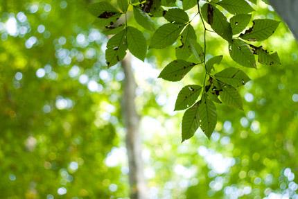 眩しく輝きだした葉