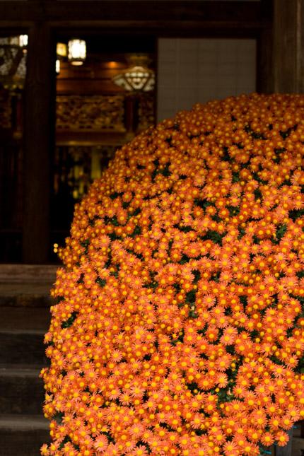オレンジの小菊の大群