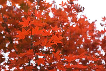 明るい赤の紅葉を埋もれさせて