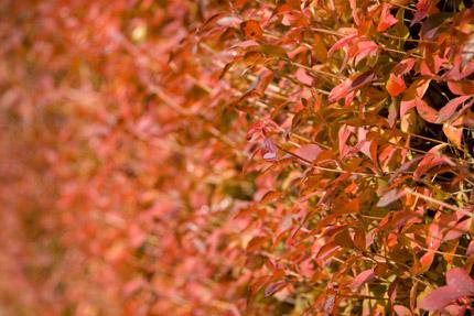 垣根の木も赤く染まっていた