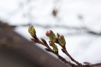 冷たい風に吹かれて、花見