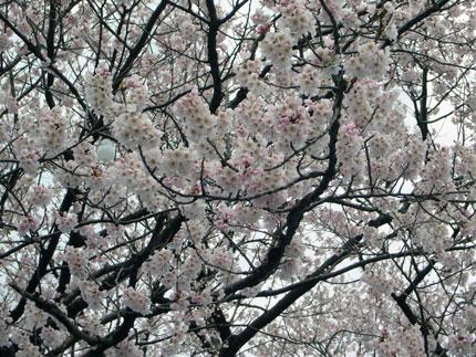 一部に咲いていた桜