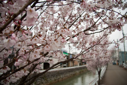 儀明川沿いに咲いていた小彼岸桜