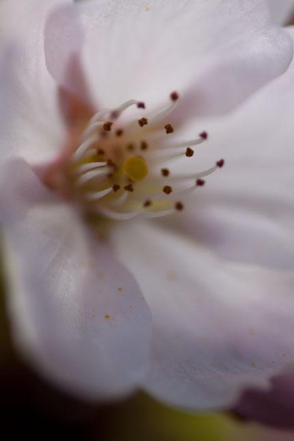 目一杯寄ってみて桜