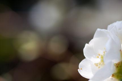 花びらが光る