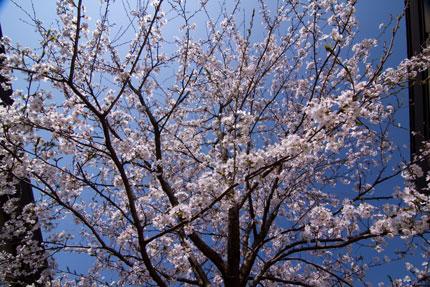 事務所脇の桜