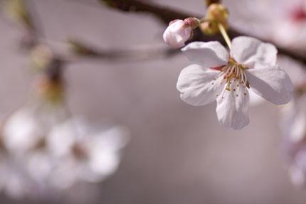 咲き始めの染井吉野