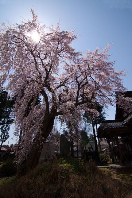 日朝寺の枝垂れ桜