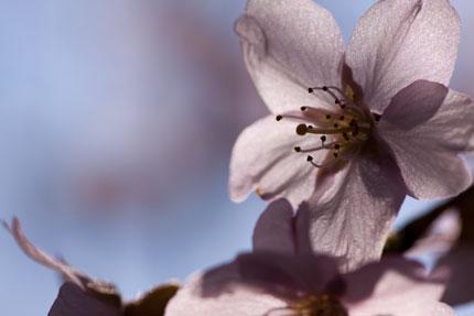 薄紅色の枝垂れ桜