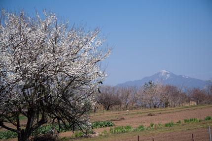 畑と米山と白い桃の花