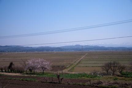 田畑の真ん中に桜の木