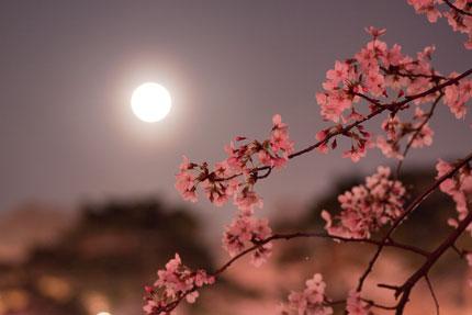 月夜の晩の高田公園の桜