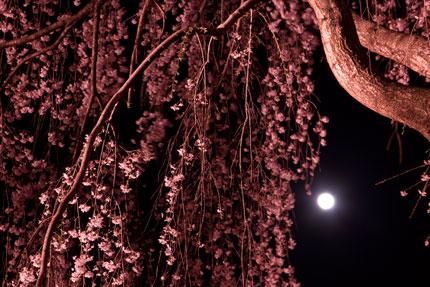忠霊塔前の枝垂れ桜と月