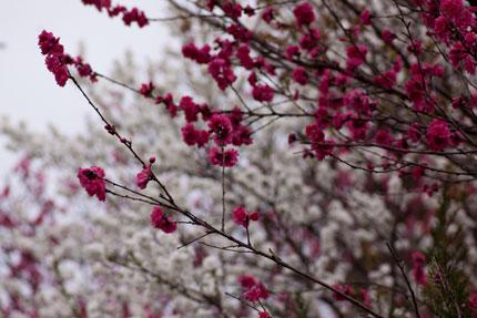 お寺に咲いた桃の花