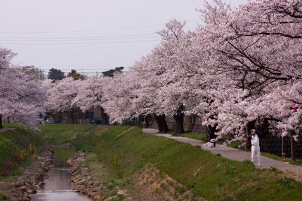 青田川沿いにも染井吉野