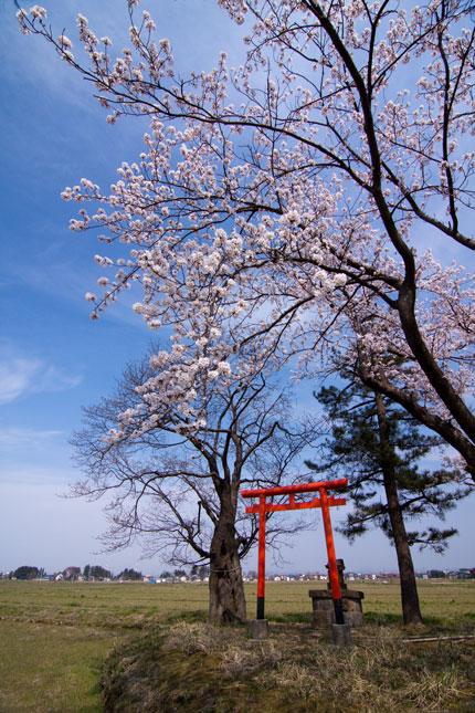 田の真ん中にある小さな神社の桜