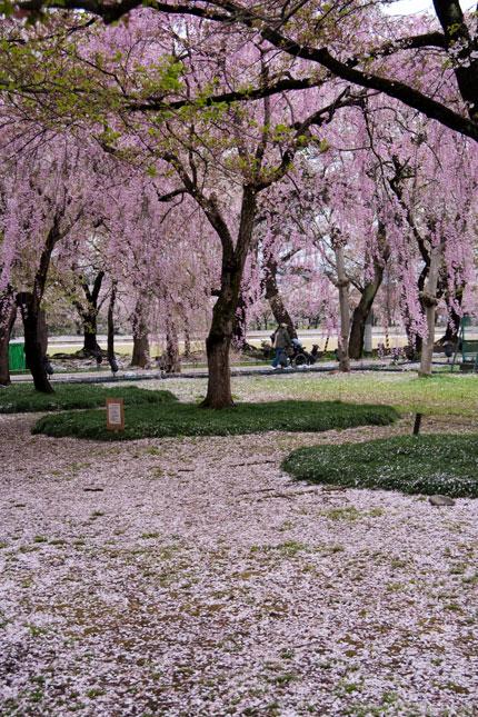 桜花びらの絨毯