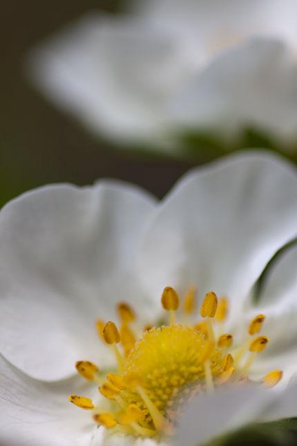 苺の花のアップ