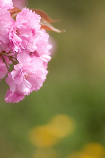緑に映える八重桜