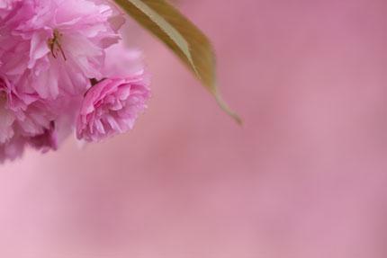 ピンク色に埋もれる赤いヤエザクラ