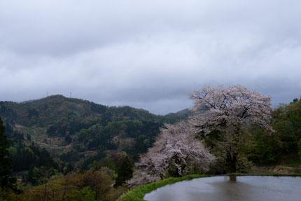 松代儀明の棚田に桜が