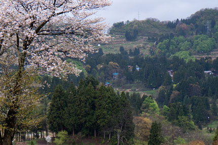 桜の花散る姿