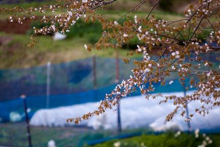 春、散りゆく桜